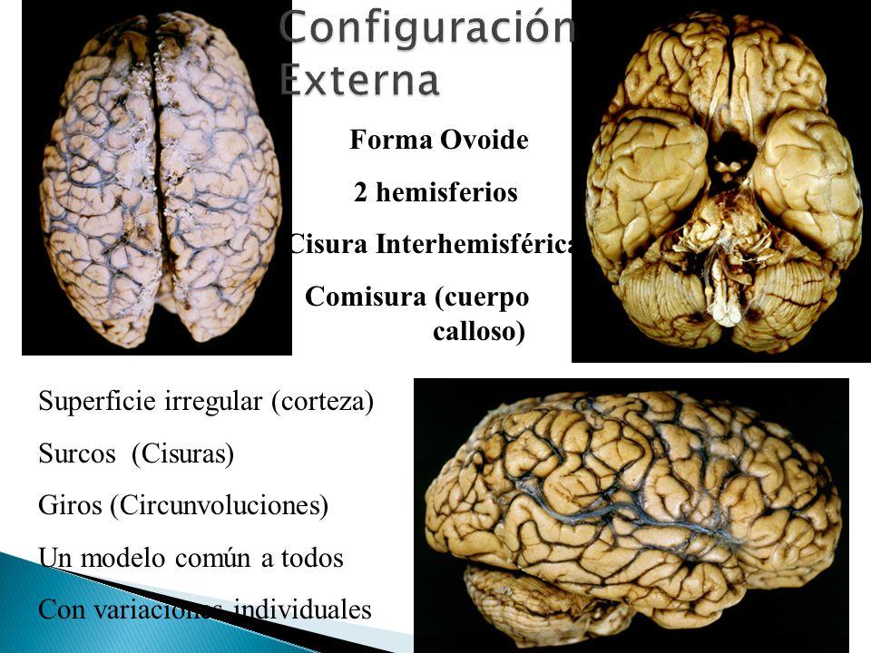 Forma Ovoide 2 hemisferios Cisura Interhemisférica Comisura (cuerpo calloso) Superficie irregular (corteza) Surcos (Cisuras) Giros (Circunvoluciones)