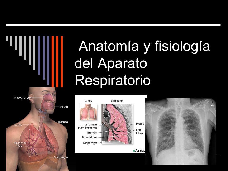 Control nervioso de la respiración El patrón cíclico de respiración se modifica por diversos estímulos: Cambios en el pH o en la concentración de CO 2 y de O 2 Situaciones como el ejercicio, emociones, cambios de presión arterial y temperatura
