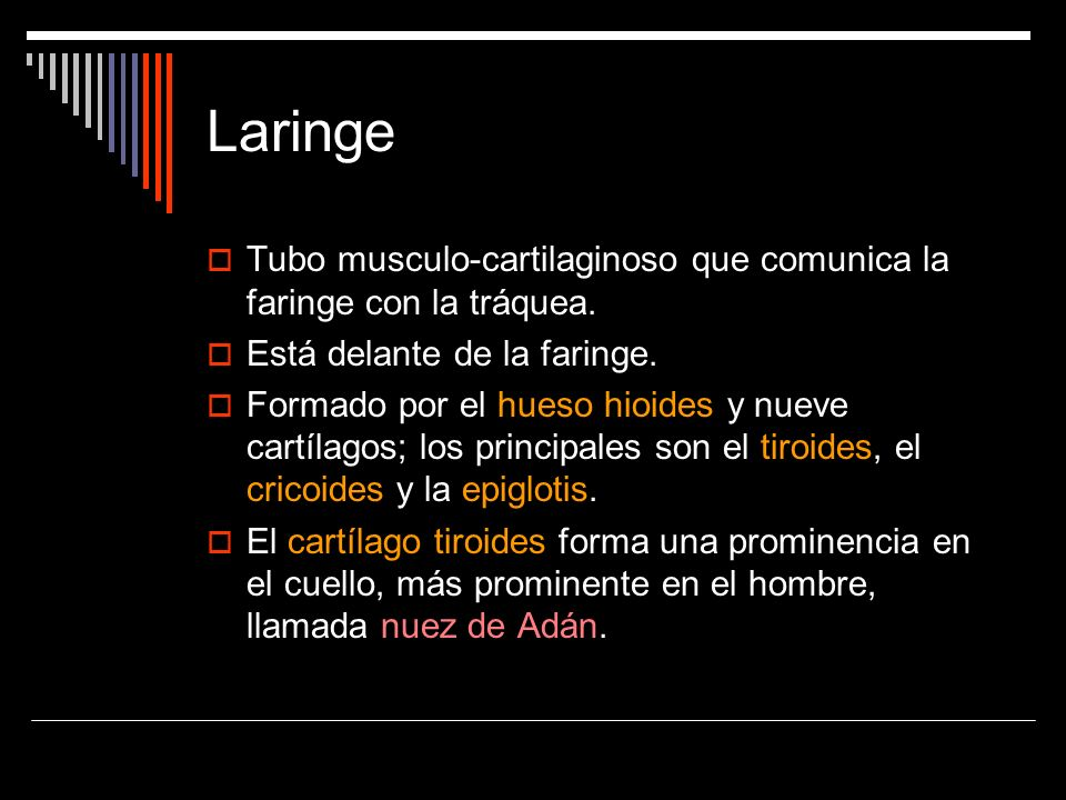 Tubo musculo-cartilaginoso que comunica la faringe con la tráquea. Está delante de la faringe. Formado por el hueso hioides y nueve cartílagos; los pr
