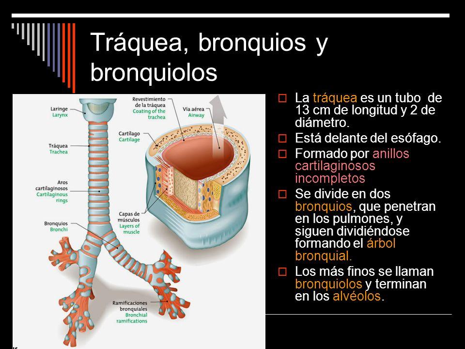 Tráquea, bronquios y bronquiolos La tráquea es un tubo de 13 cm de longitud y 2 de diámetro. Está delante del esófago. Formado por anillos cartilagino