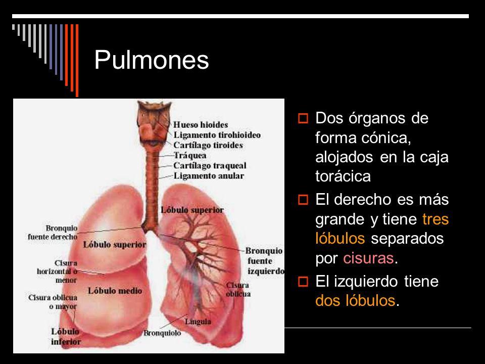 Pulmones Dos órganos de forma cónica, alojados en la caja torácica El derecho es más grande y tiene tres lóbulos separados por cisuras. El izquierdo t