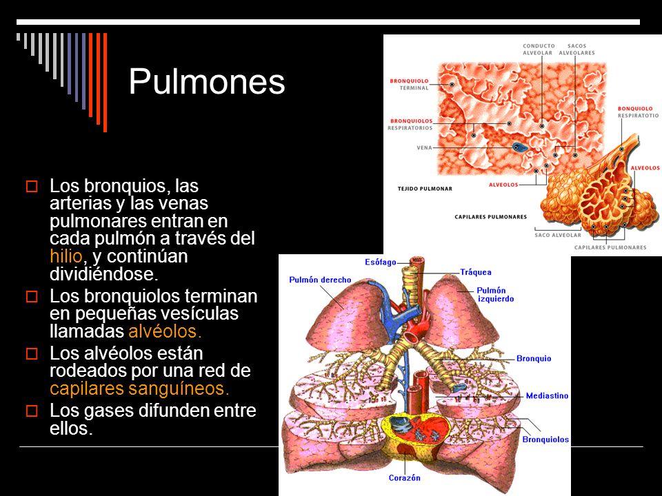 Pulmones Los bronquios, las arterias y las venas pulmonares entran en cada pulmón a través del hilio, y continúan dividiéndose. Los bronquiolos termin