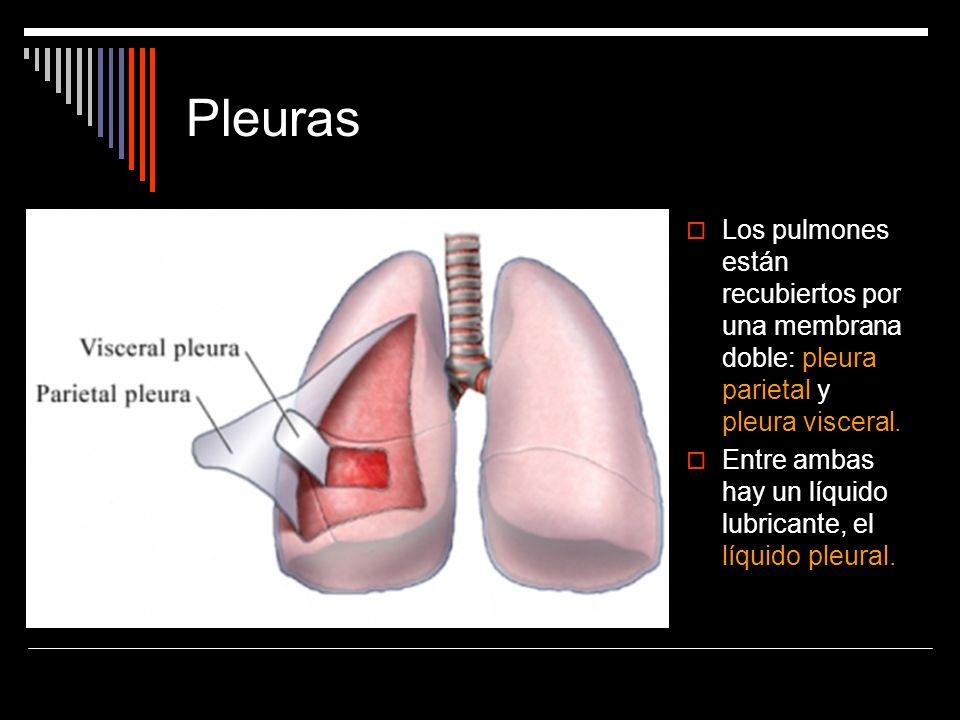 Pleuras Los pulmones están recubiertos por una membrana doble: pleura parietal y pleura visceral. Entre ambas hay un líquido lubricante, el líquido pl