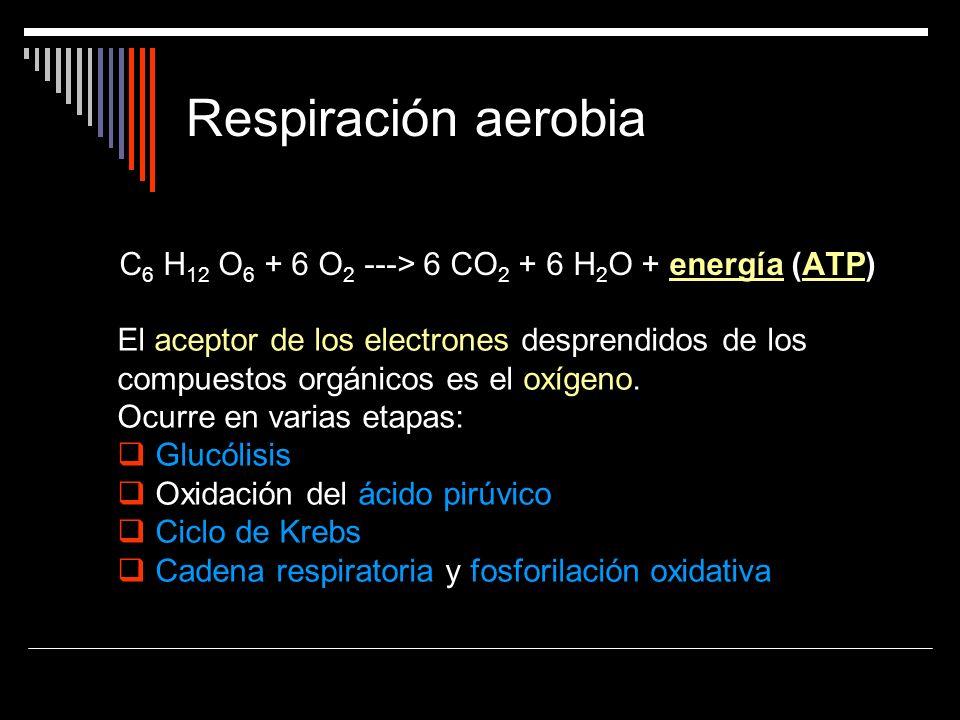 Respiración aerobia C 6 H 12 O 6 + 6 O 2 ---> 6 CO 2 + 6 H 2 O + energía (ATP)energíaATP El aceptor de los electrones desprendidos de los compuestos o