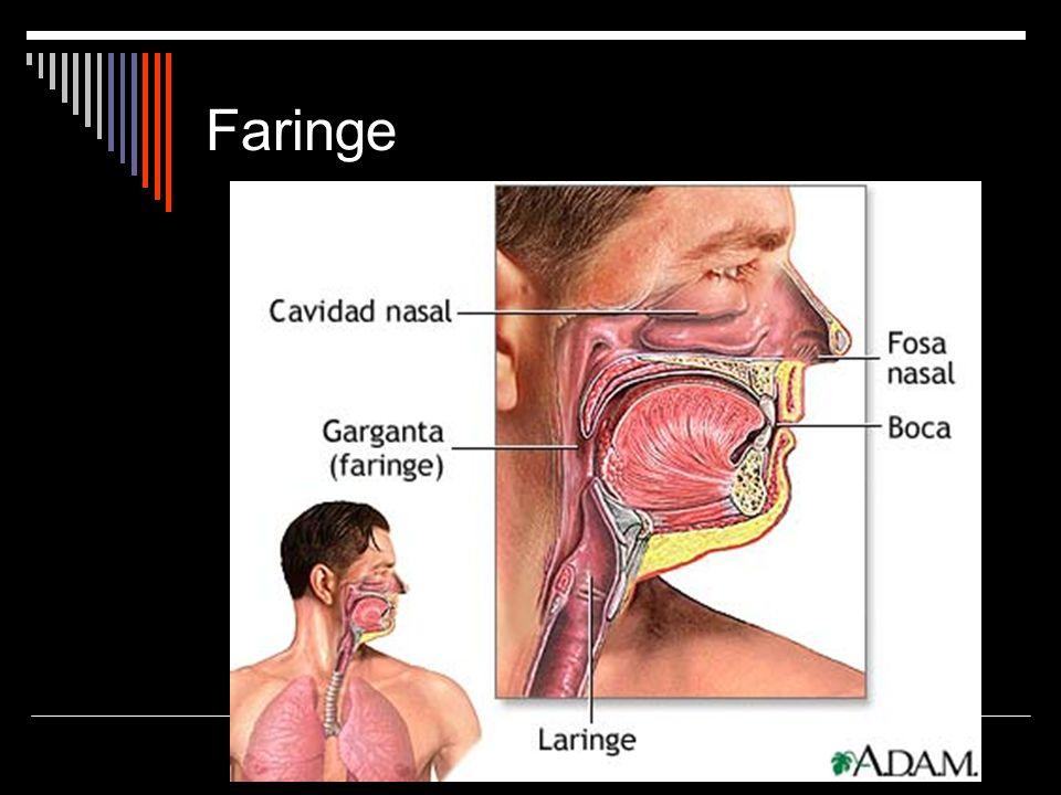 Tubo musculoso común a los aparatos digestivo y respiratorio.