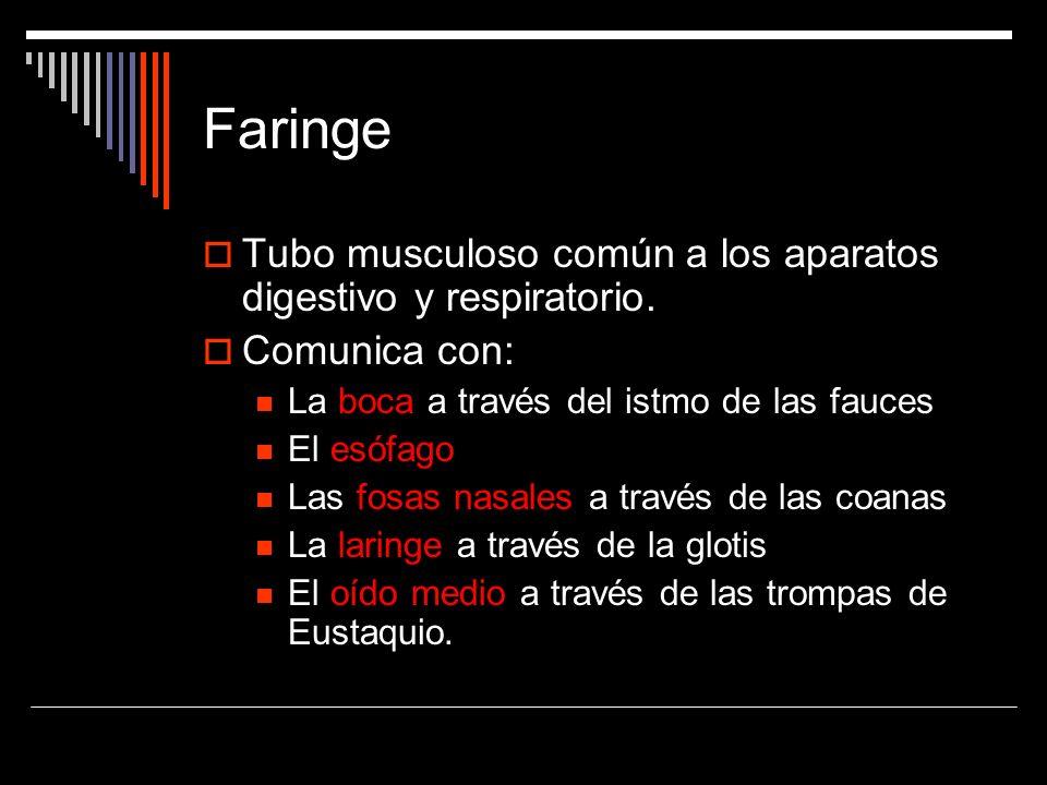 Tubo musculoso común a los aparatos digestivo y respiratorio. Comunica con: La boca a través del istmo de las fauces El esófago Las fosas nasales a tr
