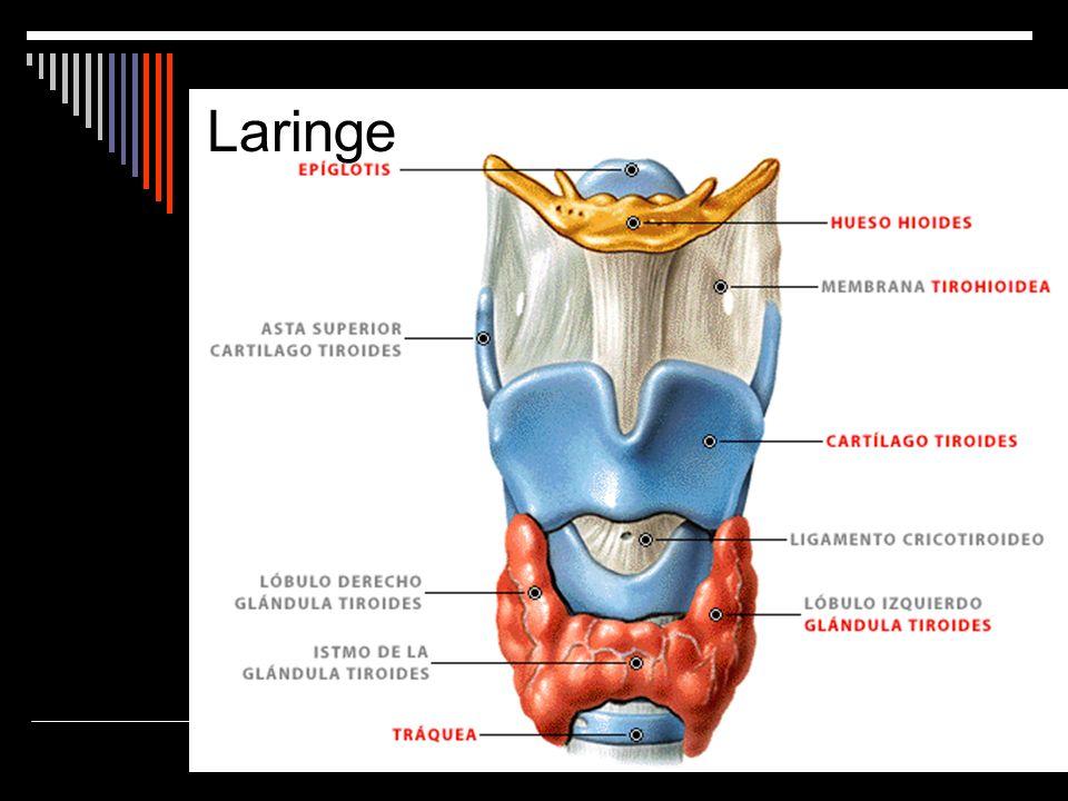 Tubo musculo-cartilaginoso que comunica la faringe con la tráquea.