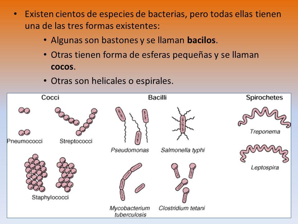 Existen cientos de especies de bacterias, pero todas ellas tienen una de las tres formas existentes: Algunas son bastones y se llaman bacilos. Otras t