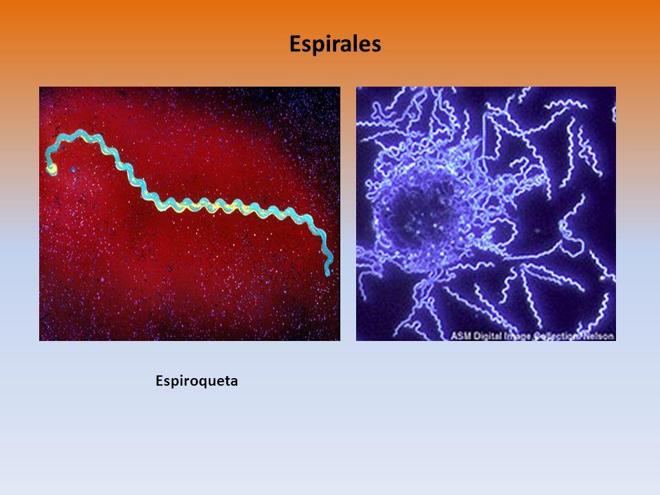 Espirales Espiroqueta
