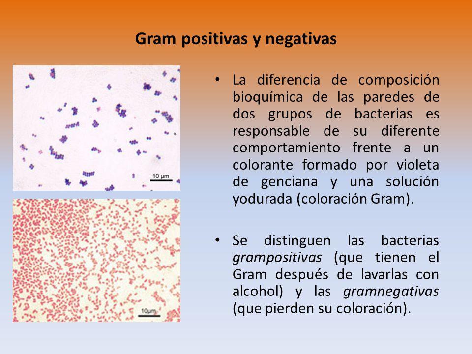 Gram positivas y negativas La diferencia de composición bioquímica de las paredes de dos grupos de bacterias es responsable de su diferente comportami