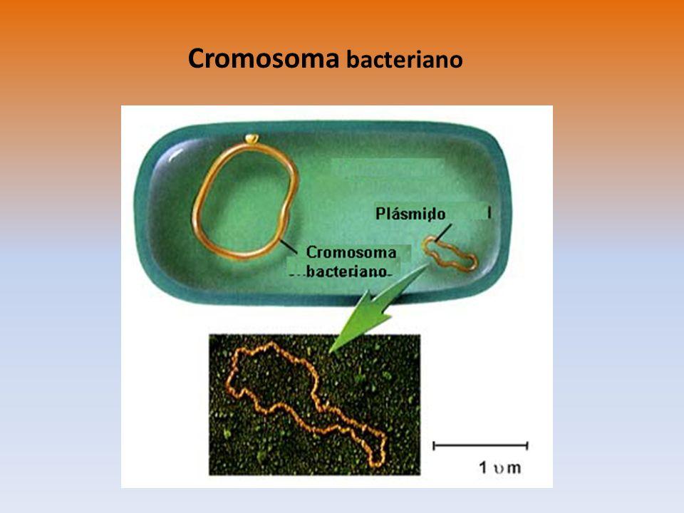 Transformación Bacteriana