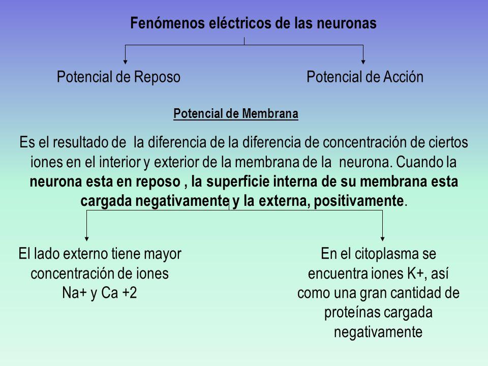 Si un único PEPS no induce un potencial de acción y un PIPS aleja a la membrana del umbral, ¿Cómo se produce un potencial de acción.