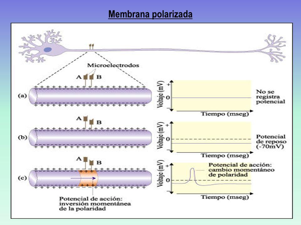 Redes Neuronales Varias neuronas que se contactan entre sí en forma excitatoria o inhibitoria Despolarizante: se dice que la sinapsis es excitadora Hiperpolarizante: se dice que la sinapsis es inhibidora