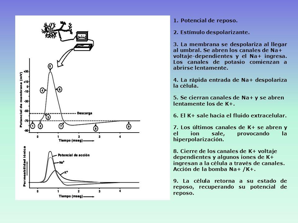 1.- Propagación del PA en la neurona presináptica 2.- Entrada de Calcio 3.- Liberación del NT por exocitosis 4.- Unión del NT al receptor postsináptico 5.- Apertura de canales iónicos específicos en la membrana postsináptica Canales Na+,K+ o Cl- 5