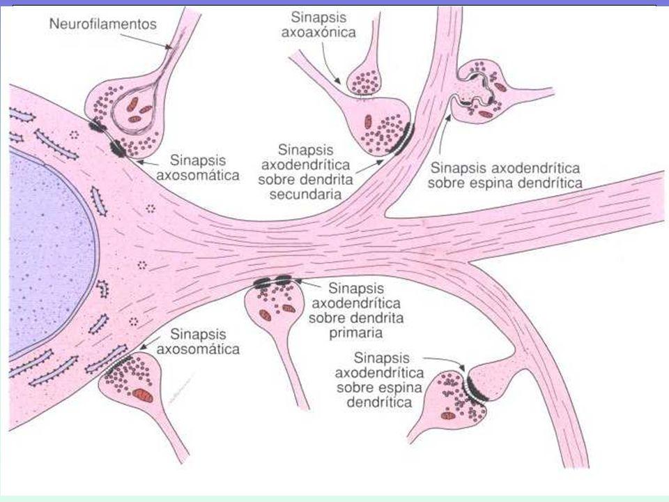 Sinapsis: contacto entre las neuronas donde tiene lugar la transmisión de la información.