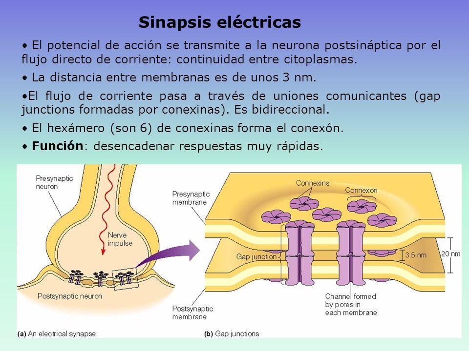 CARACTERÍSTICAS DE LA TRANSMISIÓN SINÁPTICA 1.-Fatiga sináptica Mecanismo protector frente a la actividad neuronal excesiva agotamiento de los depósitos de NT inactivación progresiva de los receptores en la Membrana postsináptica aparición de concentraciones anormales de iones en la célula postsináptica 2.-Acidosis y alcalosis Acidosis: disminución excitación Alcalosis: aumento de la excitabilidad 3.-Hipoxia: disminución de la excitabilidad 4.-Fármacos: Cafeína: aumento la excitabilidad Anestésicos: elevación del umbral 5.-Retraso sináptico: 0,5 msg.