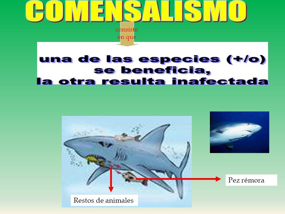 SIMBIOSIS:( VIVIR JUNTOS) Cualquier relación en la cual dos especies viven estrechamente unidas. COMENSALISMOPARASITISMO MUTUALISMO (+/+) PROTOCOOPER