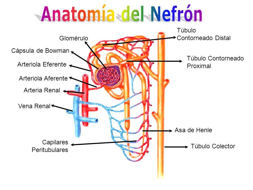 Túbulo Contorneado Distal Túbulo Contorneado Proximal Asa de Henle Túbulo Colector Capilares Peritubulares Vena Renal Arteria Renal Arteriola Aferente
