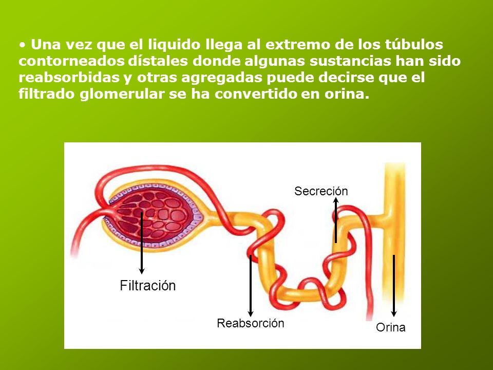 Una vez que el liquido llega al extremo de los túbulos contorneados dístales donde algunas sustancias han sido reabsorbidas y otras agregadas puede de