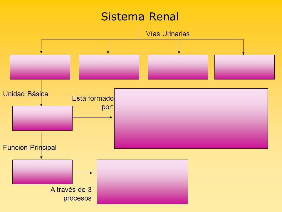 Sistema Renal Vías Urinarias Unidad Básica Función Principal A través de 3 procesos Está formado por: