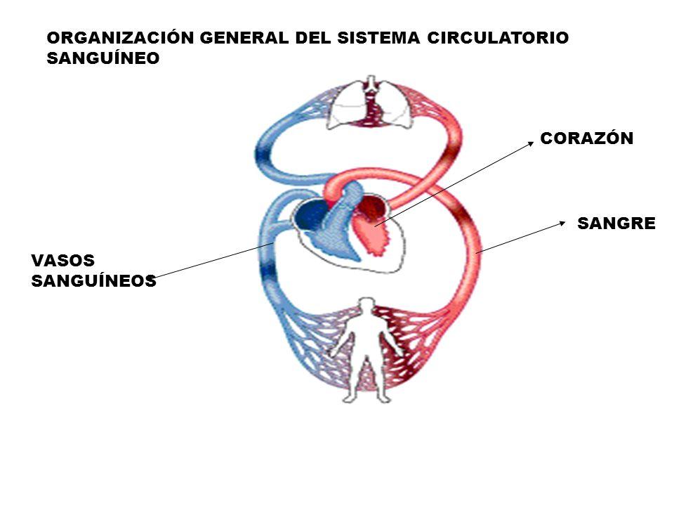 ORGANIZACIÓN GENERAL DEL SISTEMA CIRCULATORIO SANGUÍNEO SANGRE CORAZÓN VASOS SANGUÍNEOS