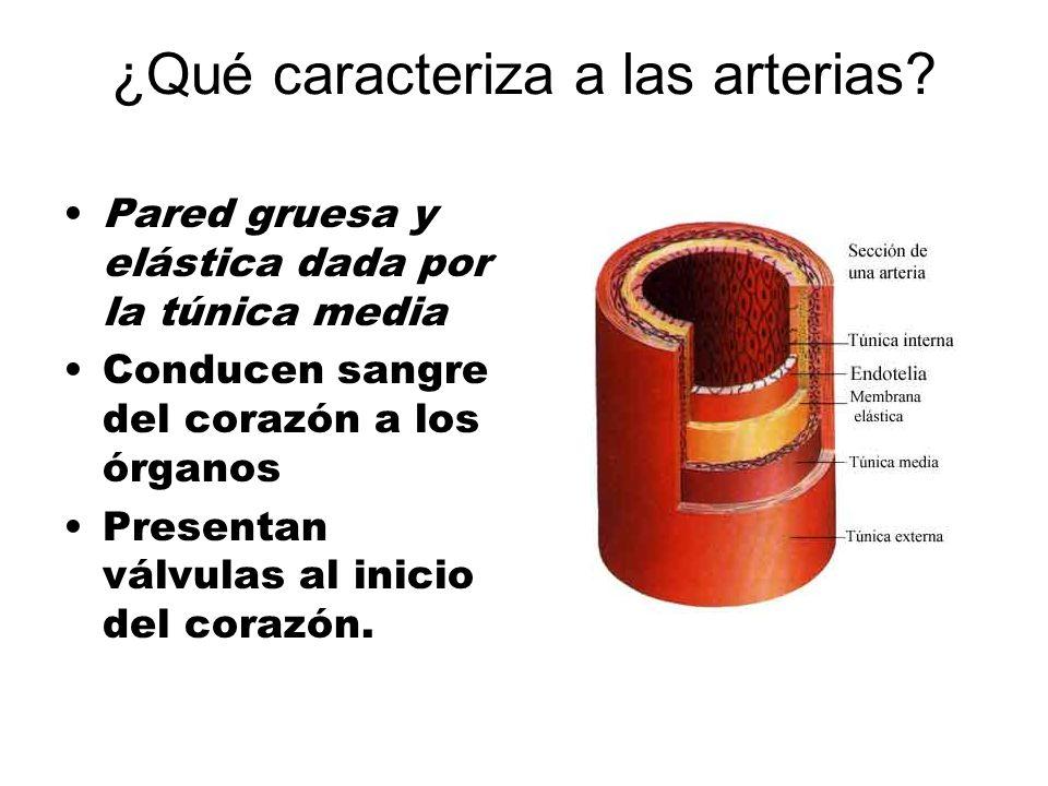 ¿Qué caracteriza a las arterias? Pared gruesa y elástica dada por la túnica media Conducen sangre del corazón a los órganos Presentan válvulas al inic