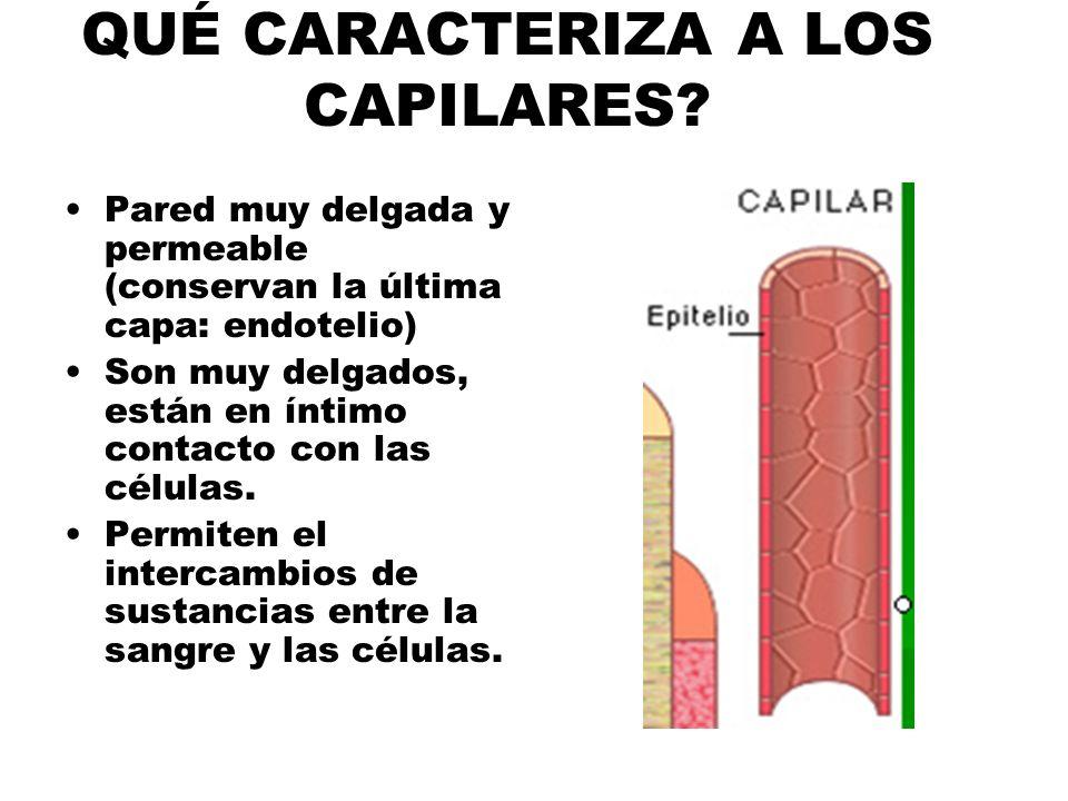 QUÉ CARACTERIZA A LOS CAPILARES? Pared muy delgada y permeable (conservan la última capa: endotelio) Son muy delgados, están en íntimo contacto con la