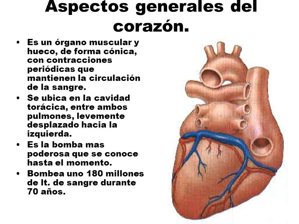 Aspectos generales del corazón. Es un órgano muscular y hueco, de forma cónica, con contracciones periódicas que mantienen la circulación de la sangre