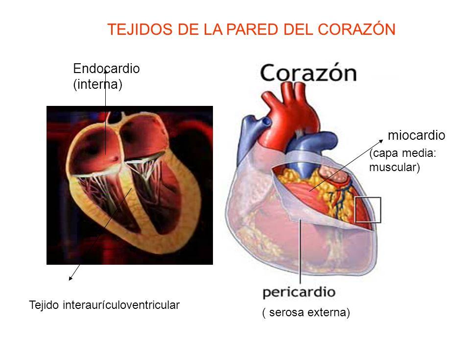 miocardio Endocardio (interna) ( serosa externa) (capa media: muscular) TEJIDOS DE LA PARED DEL CORAZÓN Tejido interaurículoventricular