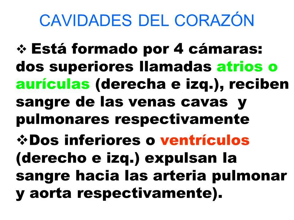 CAVIDADES DEL CORAZÓN Está formado por 4 cámaras: dos superiores llamadas atrios o aurículas (derecha e izq.), reciben sangre de las venas cavas y pul