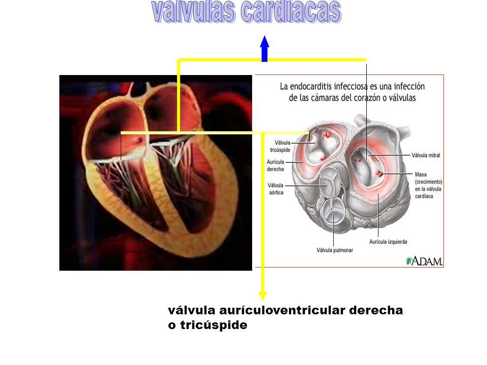 válvula aurículoventricular derecha o tricúspide