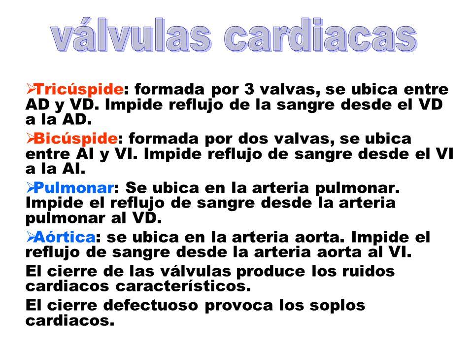 Tricúspide: formada por 3 valvas, se ubica entre AD y VD. Impide reflujo de la sangre desde el VD a la AD. Bicúspide: formada por dos valvas, se ubica