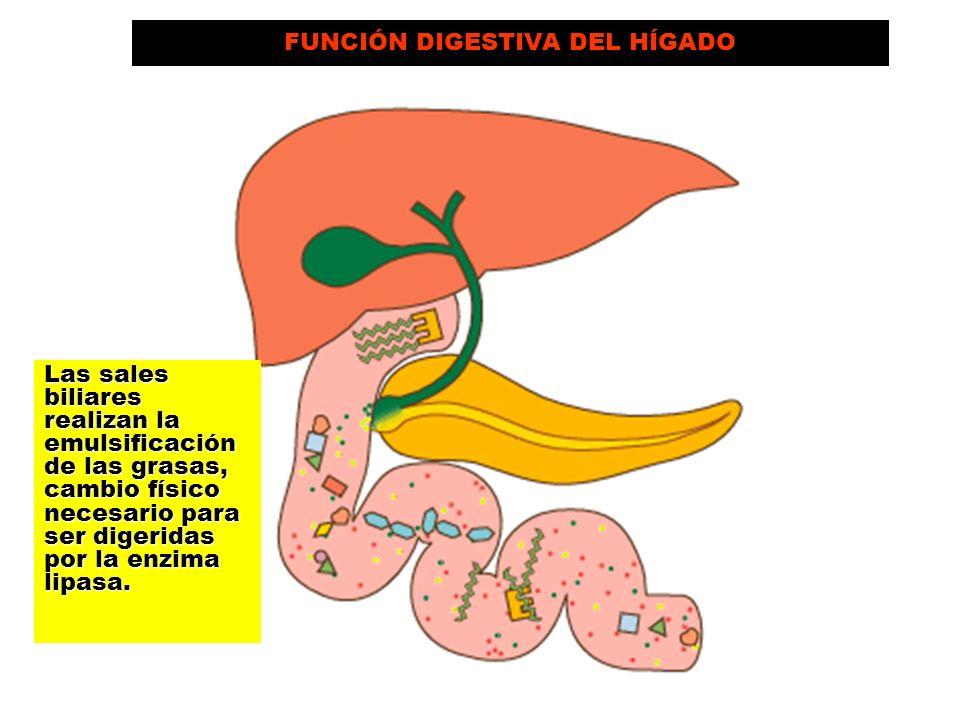 FUNCIÓN DIGESTIVA DEL HÍGADO Las sales biliares realizan la emulsificación de las grasas, cambio físico necesario para ser digeridas por la enzima lip