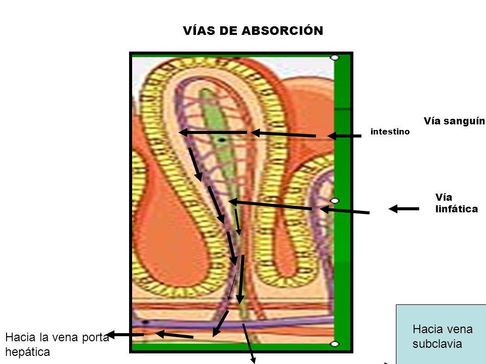 intestino Hacia la vena porta hepática Vía sanguínea Vía linfática Hacia vena subclavia VÍAS DE ABSORCIÓN