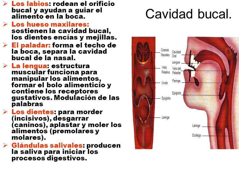 Cavidad bucal. Los labios: rodean el orificio bucal y ayudan a guiar el alimento en la boca. Los hueso maxilares: sostienen la cavidad bucal, los dien