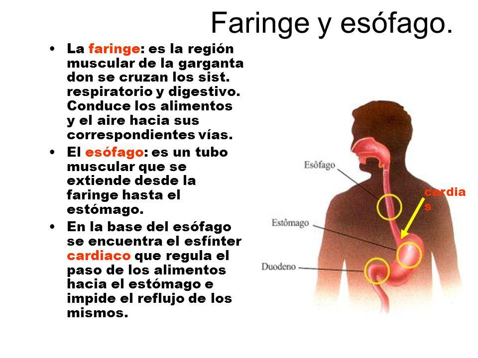 Faringe y esófago. La faringe: es la región muscular de la garganta don se cruzan los sist. respiratorio y digestivo. Conduce los alimentos y el aire