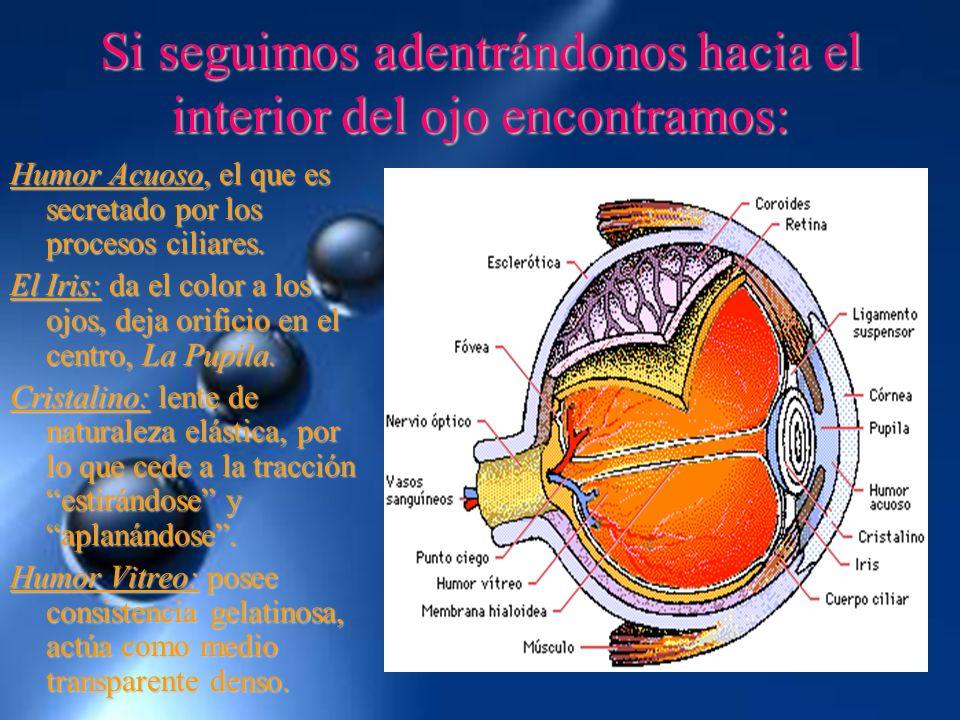 Si seguimos adentrándonos hacia el interior del ojo encontramos: Humor Acuoso, el que es secretado por los procesos ciliares. El Iris: da el color a l