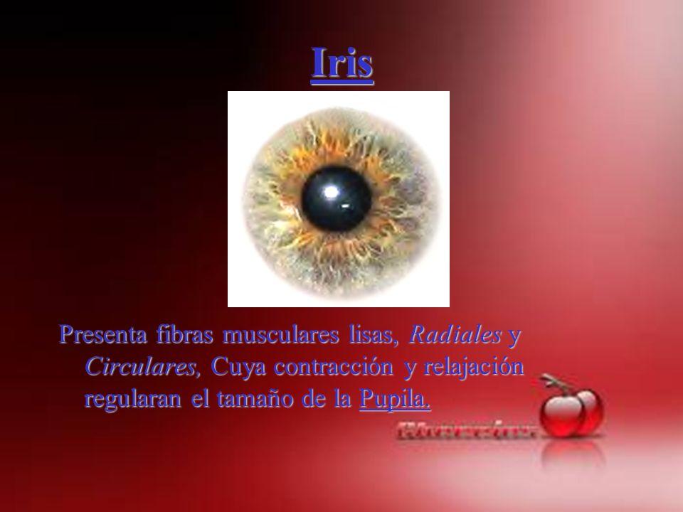 Iris Presenta fibras musculares lisas, Radiales y Circulares, Cuya contracción y relajación regularan el tamaño de la Pupila.