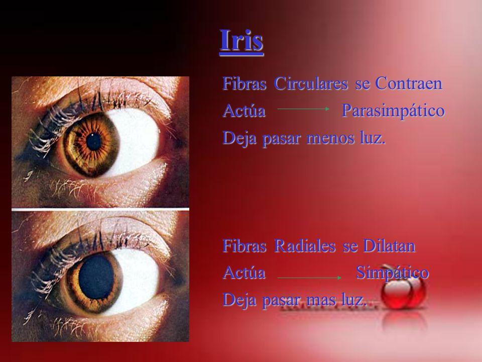 Iris Fibras Circulares se Contraen Actúa Parasimpático Deja pasar menos luz. Fibras Radiales se Dilatan Actúa Simpático Deja pasar mas luz.