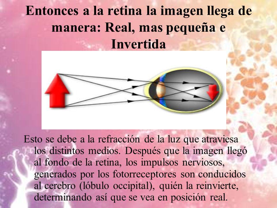 Entonces a la retina la imagen llega de manera: Real, mas pequeña e Invertida Esto se debe a la refracción de la luz que atraviesa los distintos medio