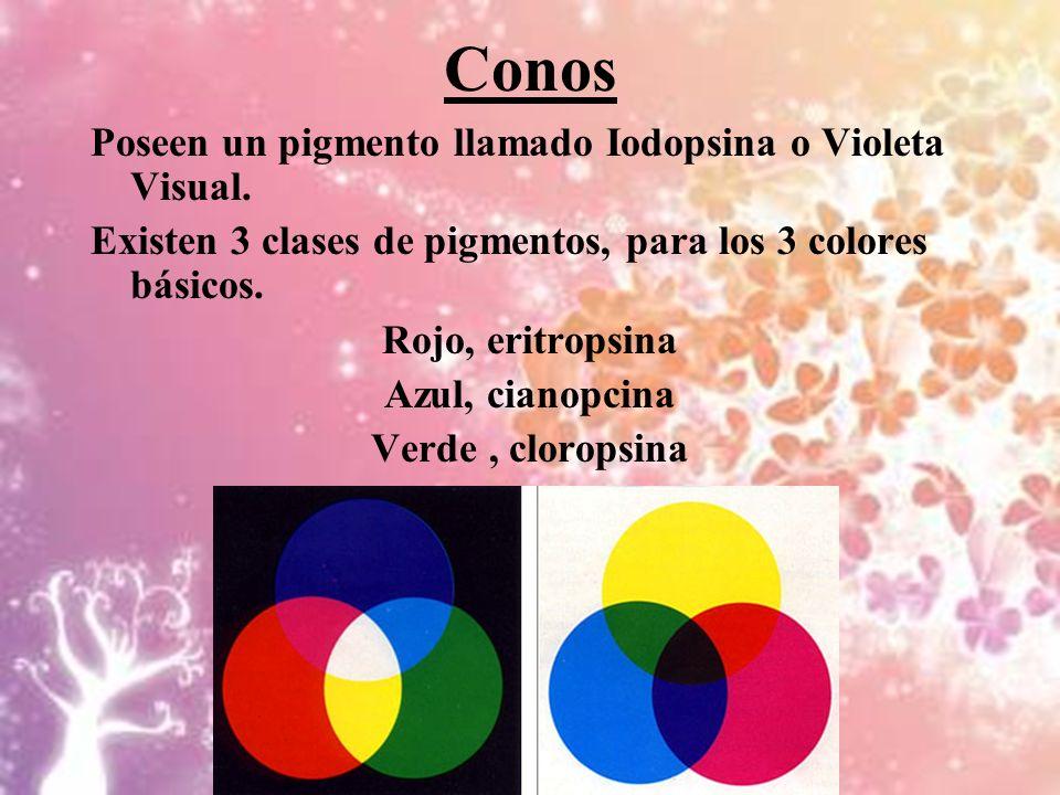 Conos Poseen un pigmento llamado Iodopsina o Violeta Visual. Existen 3 clases de pigmentos, para los 3 colores básicos. Rojo, eritropsina Azul, cianop