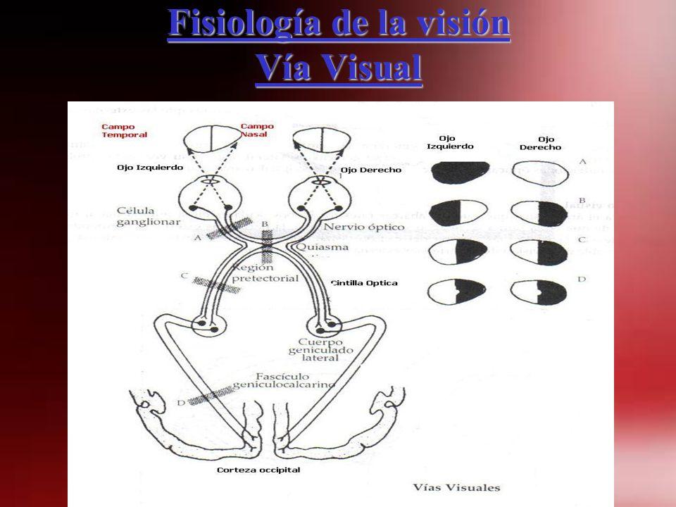 Fisiología de la visión Vía Visual