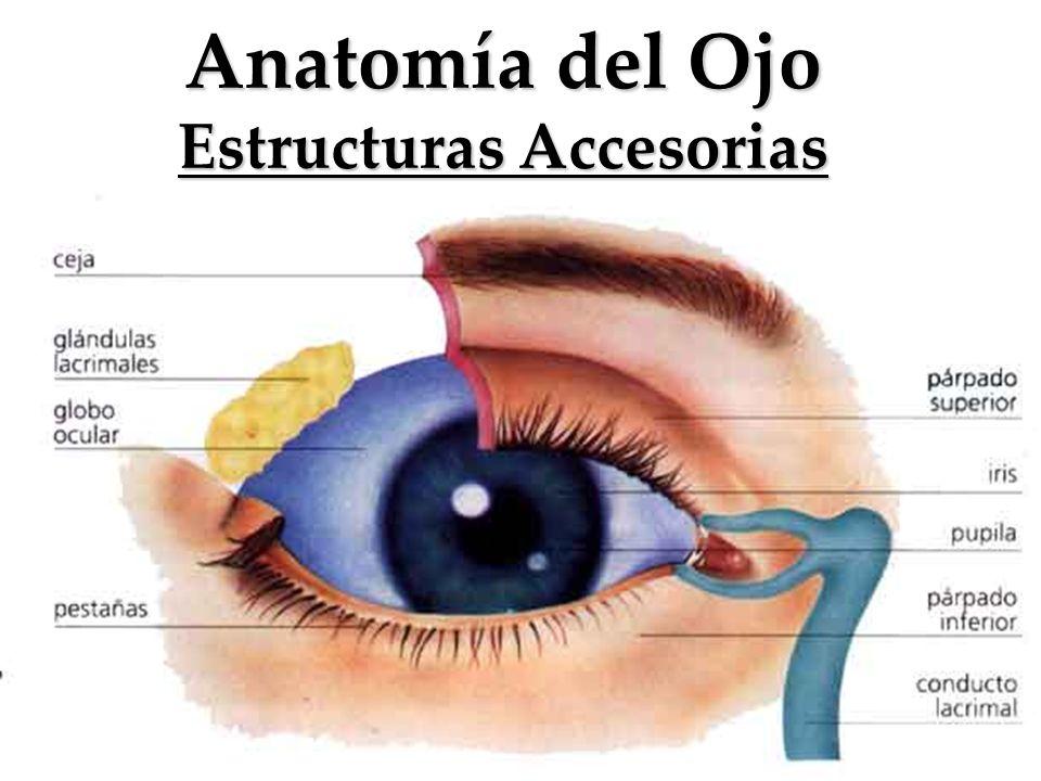Lujo Anatomía Y Fisiología De Los Ojos Motivo - Anatomía de Las ...