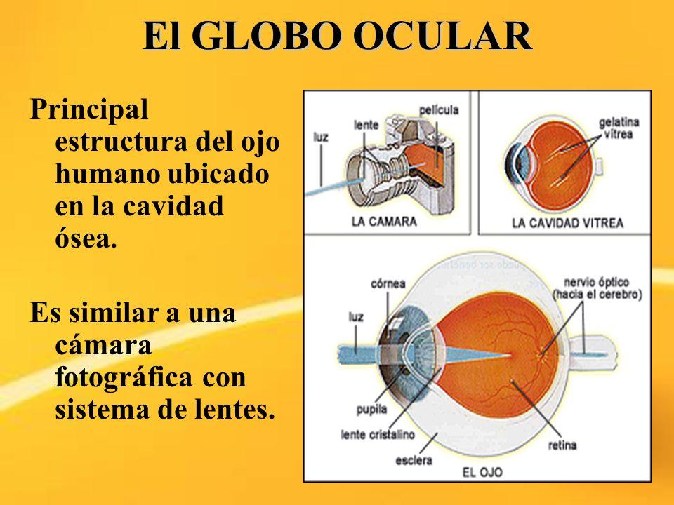 El GLOBO OCULAR Principal estructura del ojo humano ubicado en la cavidad ósea. Es similar a una cámara fotográfica con sistema de lentes.