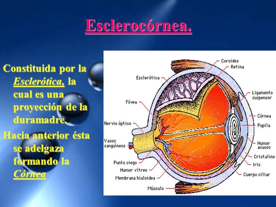 Esclerocórnea. Constituida por la Esclerótica, la cual es una proyección de la duramadre. Hacia anterior ésta se adelgaza formando la Córnea
