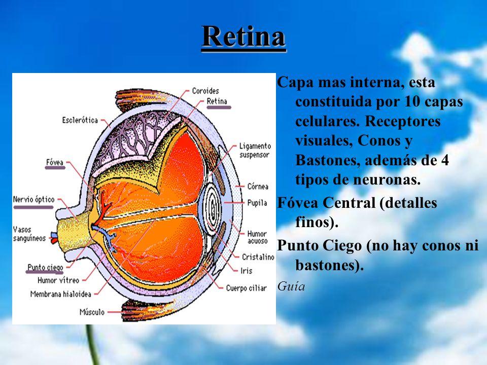 Retina Capa mas interna, esta constituida por 10 capas celulares. Receptores visuales, Conos y Bastones, además de 4 tipos de neuronas. Fóvea Central