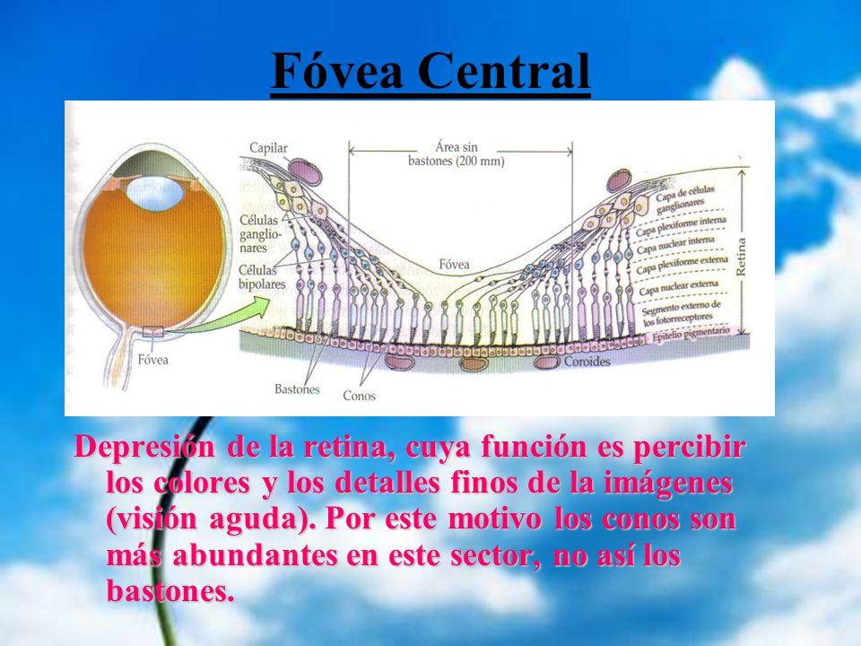 Fóvea Central Depresión de la retina, cuya función es percibir los colores y los detalles finos de la imágenes (visión aguda). Por este motivo los con