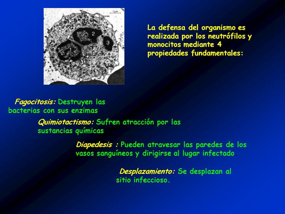 Fagocitosis: Destruyen las bacterias con sus enzimas. La defensa del organismo es realizada por los neutrófilos y monocitos mediante 4 propiedades fun
