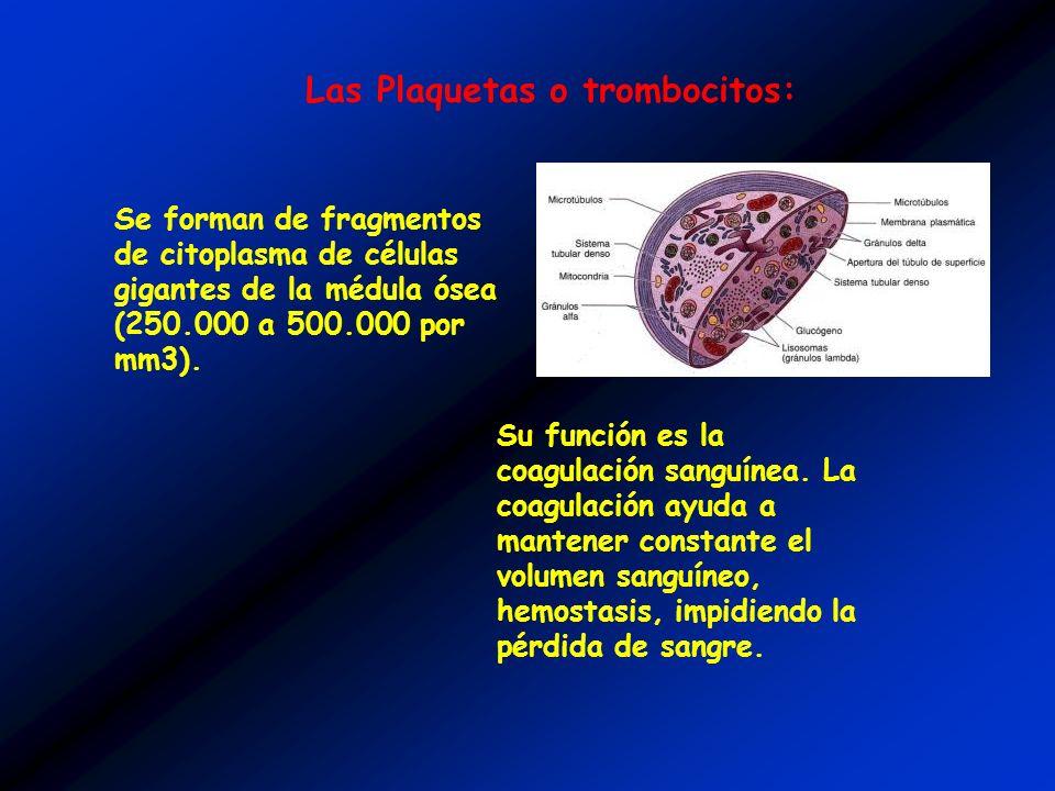 Su función es la coagulación sanguínea. La coagulación ayuda a mantener constante el volumen sanguíneo, hemostasis, impidiendo la pérdida de sangre. L