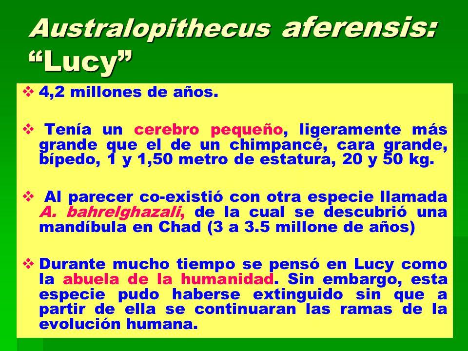 Australopithecus aferensis: Lucy 4,2 millones de años. Tenía un cerebro pequeño, ligeramente más grande que el de un chimpancé, cara grande, bípedo, 1